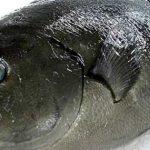 Iso Fishing, Trend Mancing Bergengsi di Negara Jepang