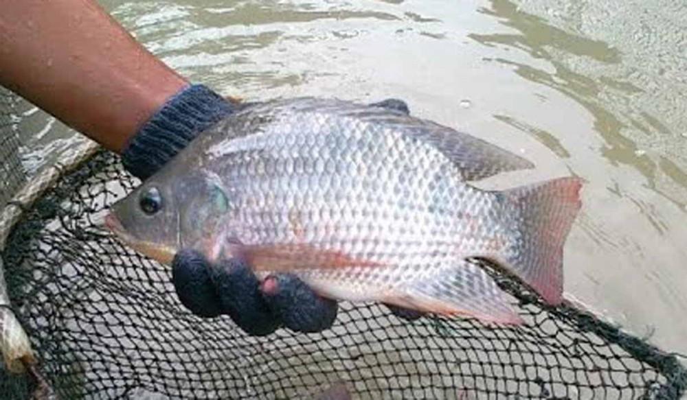 5 Trik Sukses Mancing Ikan Nila yang Mogok Makan