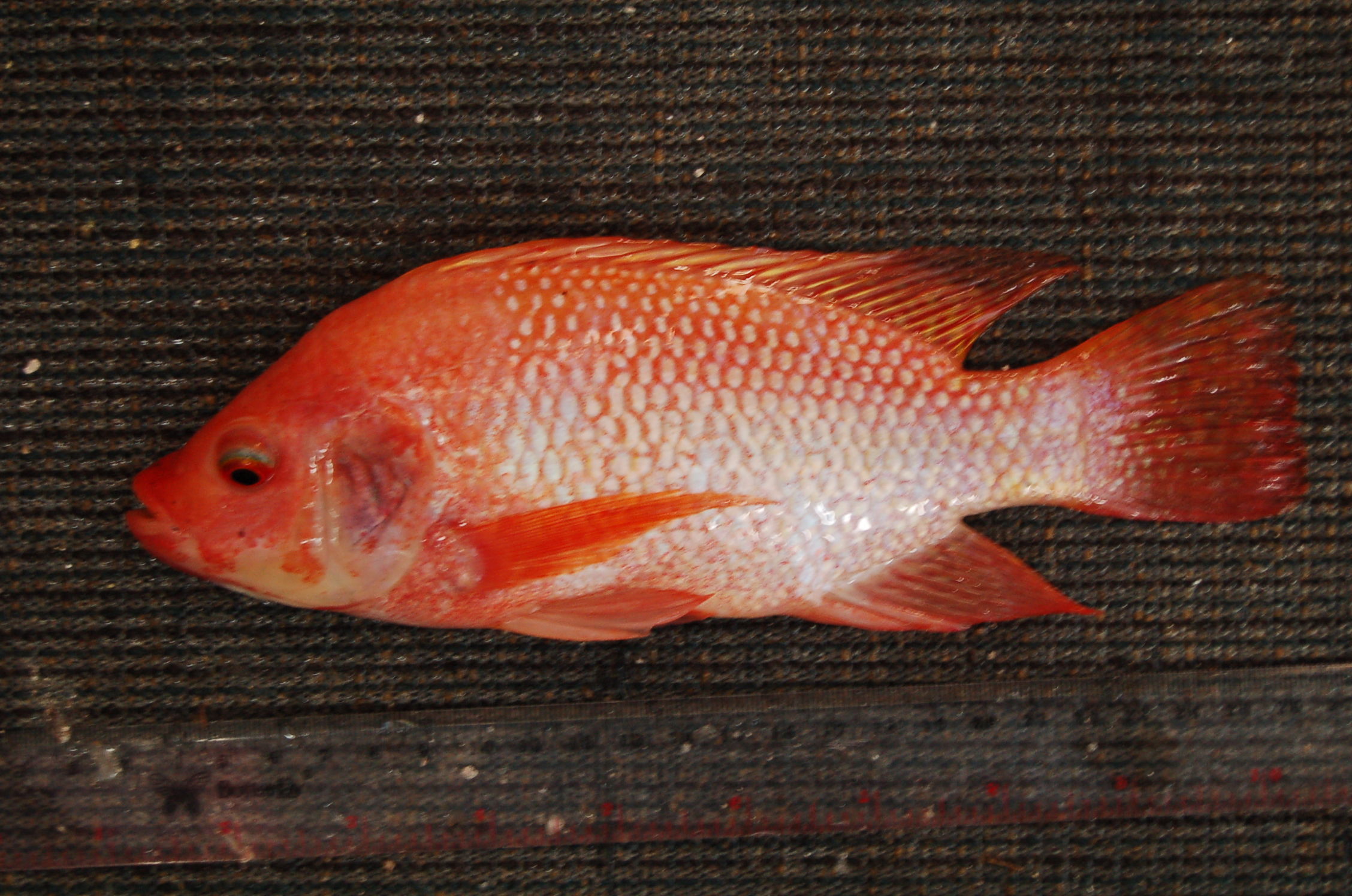 6 Poin Penting Cara Budidaya Ikan Nila di Kolam Tanah Agar Hasil Sesuai Analisa