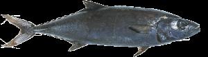 Tips dan Trik Mancing si Ikan Setan, Oilfish