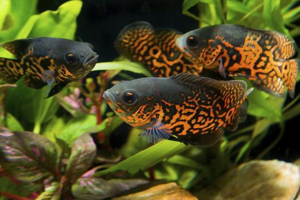 Jenis-Jenis Ikan Oscar Terbaik