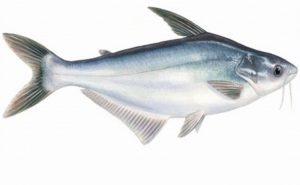 Umpan Fermentasi Ayam untuk Mancing Ikan Patin