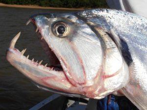 Mengenal Ikan Payara Si Vampir Air Tawar