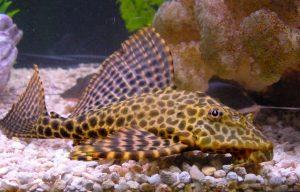 Bahaya Ikan Sapu-Sapu