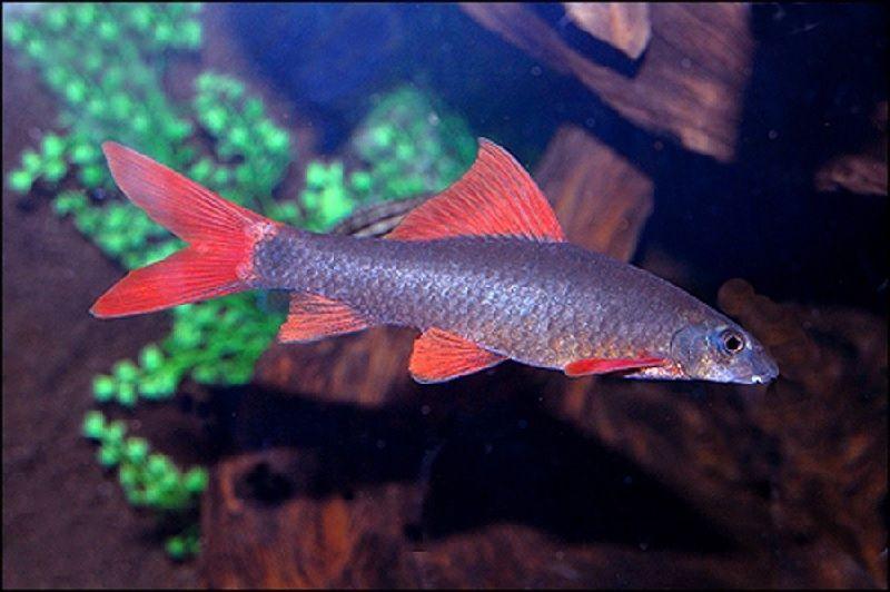Sifat Ikan Redfin Yang Sesungguhnya