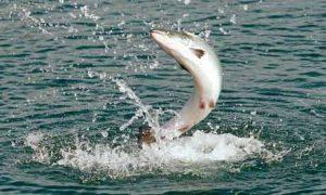 Ikan air tawar arus deras