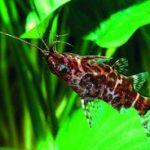 Synodontis,Ikan Unik Hidupnya Berenang Terbalik