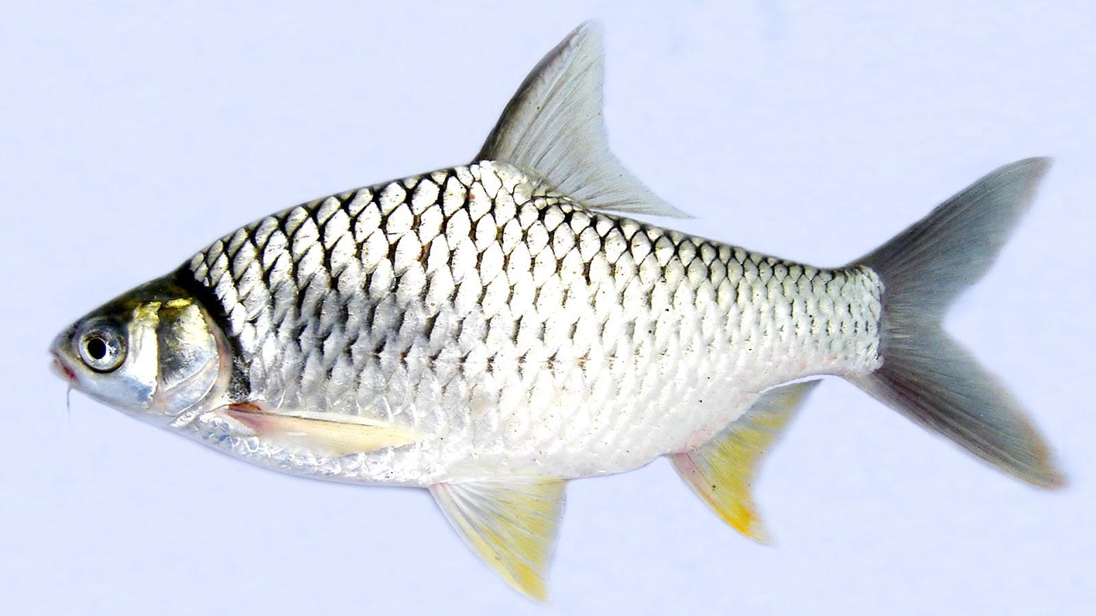 Cara Ampuh Umpan Ikan Tawes
