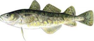 Tomcod, Ikan yang Bisa Hidup di Limbah Beracun