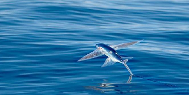 Fakta Dibalik Torani, Sang Ikan Terbang