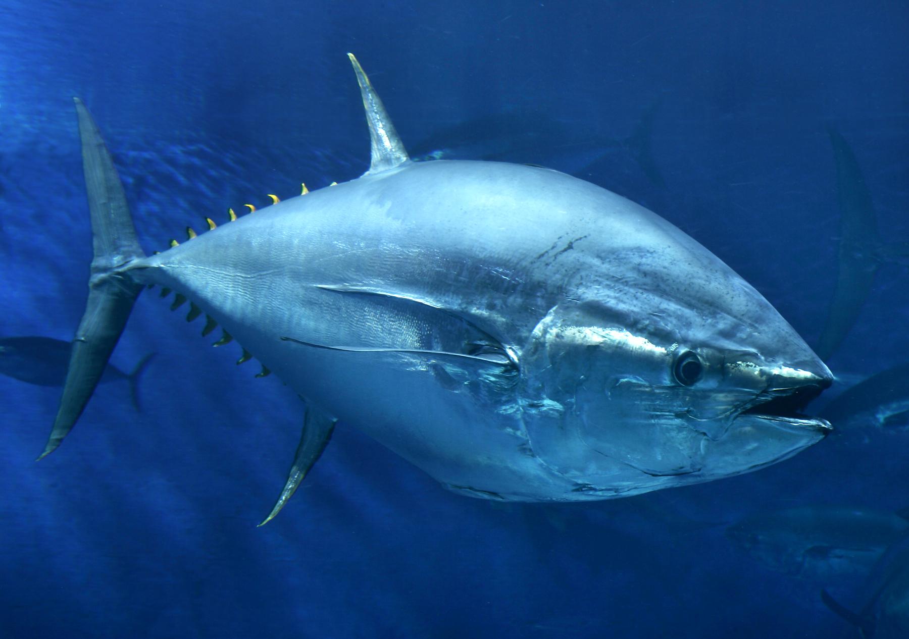 Manfaat Ikan Tuna Bagi Kesehatan Tubuh Manusia